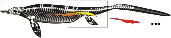 Ichthyosaur, Ichthyosaur fossil 2014, Ichthyosaur fossil live birth february 2014, Ichthyosaur fossilfebruary 2014, paleontology news february 2014, fossil news 2014, fossil discovery news 2014, fossil Ichthyosaur discovery february 2014, Ichthyosaur fossil live birth - February 2014. Photo: PLOS