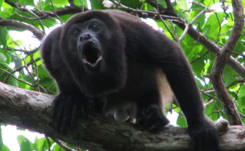 howler monkey, howler monkey photo, howler monkey image, howler monkey video, howler monkey sound, howler monkey noise, howler monkey howl, howler monkey scream, howler monkey calakmul mexico, sound of howler monkey, howler monkey noise, strange sounds of howler monkey, howler monkey strange sounds, strange sounds in the jungle, jungle sounds, terrifying sound of a howler monkey caught in Mexico, A howler monkey photo. Terrifying sound of a howler monkey caught in Mexico