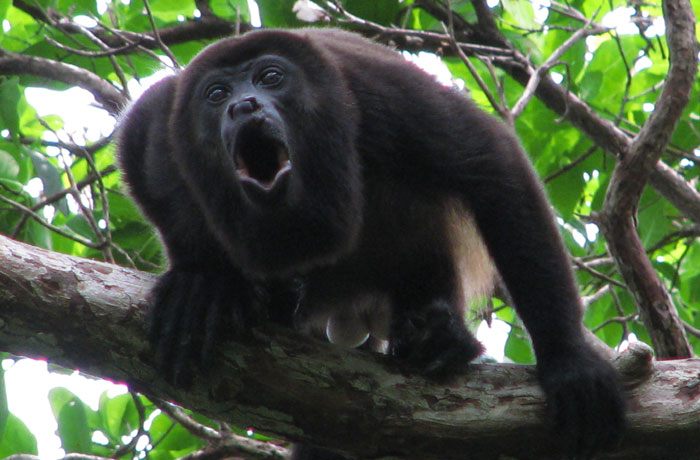 howler monkey, howler monkey calakmul mexico, sound of howler monkey, howler monkey noise, strange sounds of howler monkey, howler monkey strange sounds, strange sounds in the jungle, jungle sounds, terrifying sound of a howler monkey caught in Mexico, A howler monkey photo. Terrifying sound of a howler monkey caught in Mexico