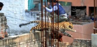 leopard, leopard photo, leopard video, wild leopard terrifies Indian town february 2014, february leopard India video and photo, leopard in India, leopard photo, leopard attack in India - February 2014