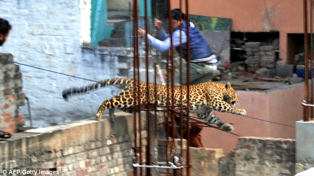 leopard, leopard photo, leopard video, wild leopard terrifies Indian town february 2014, february leopard India video and photo, leopard in India, leopard photo, leopard attack in India - February 2014