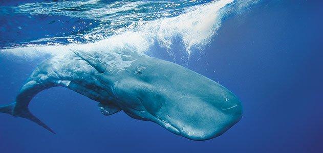 sperm whale, sperm whale sounds, whale sounds, whale calls, whale, The Sperm Whale's Deadly Call whale sounds, sperm whale sounds video, video of sperm whale sounds, strange sounds of whales video, video of whale sound, whale sound video, behavior of whales, sperm whale behavior, sperm whale sounds records, records of sperm whale sounds, animal tone: sperm whale sounds, recording of sperm whale tone