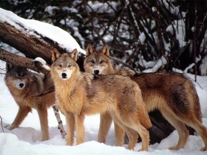 wolves, wolves photo, wolves photo yellowstone, Wolves in Yellowstone National Park. Photo: Daily Galaxy, how wolves changed rivers, how wolves changed rivers video, how wolves changed rivers in Yellowstone, yellowstone wolves changed Yellowstone's geography and rivers video