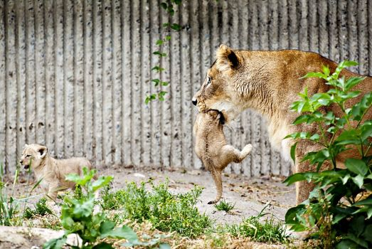 lions killed at Copenhagen zoo, copenhagen zoo kills four lions after giraffe uproar, four lions killed after giraffe in copenhagen zoo, copenhagen zoo kills four lions march 2014, four lions killed by copenhagen zoo on March 25 2014, After giraffe uproar Copenhagen zoo kills 4 lions, These two pups were killed on March 25 2013 at Copenhagen zoo