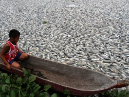 Apocalyptic Fish Die-off at Maninjau Lake in Indonesia, Apocalyptic Fish Die-off at Maninjau Lake in Indonesia - March 2014, The lake is covered by dead fishes mass die-off indonesia march 2014, massive fish mass die-off in Indonesia, Lake maninjau fish mass die-off march 2014, maninjau lake fish mass die-off photo march 2014, march 2014 fish mass die-off, mass die-off news march 2014, indonesia fish mass die-off march 2014