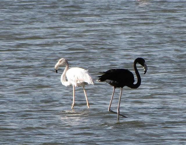 Black Flamingo in Eilat Israel, black flamingo photo, melanistic flamingo photo, black flamingo photo, strange bird: black flamingo, weird animal: black flamingo, Black Flamingo in salt ponds around Eilat in Israel by Beverly Saltonstall