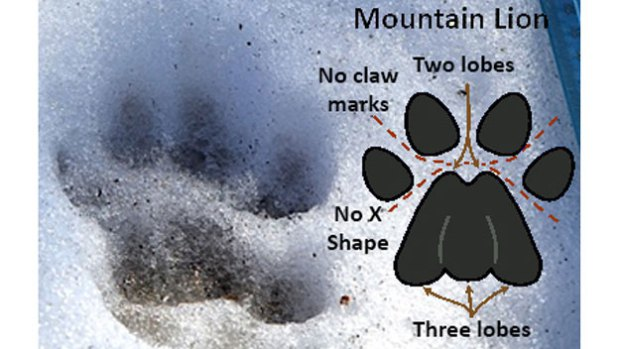Mountain lion, Mountain lion Winchester, Mountain lion Massachussetts, mystery creature in Winchester march 2014, mystery predator in Winchester, mysterious animal in Winchester march 2014, Mountain lion 2014, Mountain lion terrorizes Winchester march 2014, Mountain lion in Winchester 2014, Mountain lion sightings march 2014, Mountain lion in Winchester February and March 2014, This paw print is thought to be that of a mountain lion in Winchester