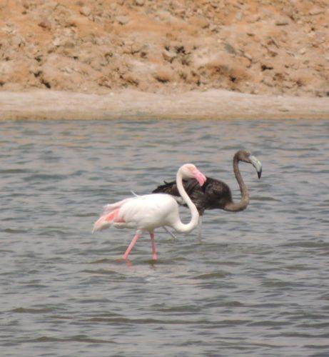 black flamingo, black-feathered flamingo, melanistic Greater Flamingo photo, Black flamingo or melanistic greater flamingo at Eilat's salt ponds in March 2013, black flamingo israel march 2014, Black flamingo at Eilat's salt ponds by David