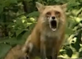 fox scream, fox cry, terrifying fox scream, fox scream video, fox scream audio, fox scream record, forcry and scream, Fox head while screaming. Photo: Youtube, animal scream, natura scream audio, nature scream video