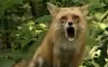 fox sound, fox scream, fox cry, red fox scream, red fox sounds video, red fox sounds,Red fox scream and sound audios and videos