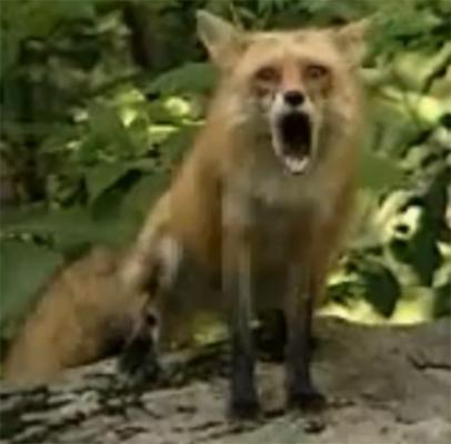 fox sound, fox scream, fox cry, red fox scream, red fox sounds video, red fox sounds,Red fox scream and sound audios and videos