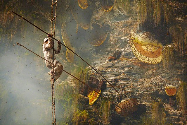 Stunning photos show the ancient tradition of honey hunting in Nepal, photo honey hunter nepal, nepal himalayan honey hunter, honey hunter himalaya image, honey hunter nepal, honey hunter, A honey hunter in Himalayan central Nepal. Photo: Andrew Newey