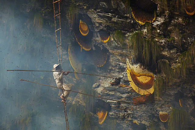 Himalayan honey hunting in Central Nepal, Himalayan honey hunting in Central Nepal photo, Himalayan honey hunting in Central Nepal image, Stunning photos show the ancient tradition of honey hunting in Nepal, This is pretty hard job: Honey hunter in Nepal. Photo: Andrew Newey