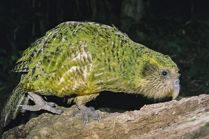 kakapo, kakapo photo, kakapo parrot, kakapo parrot photo, kakapo egg, kakapo egg story, kakapo image, kakapo picture, kakapo parrot adult