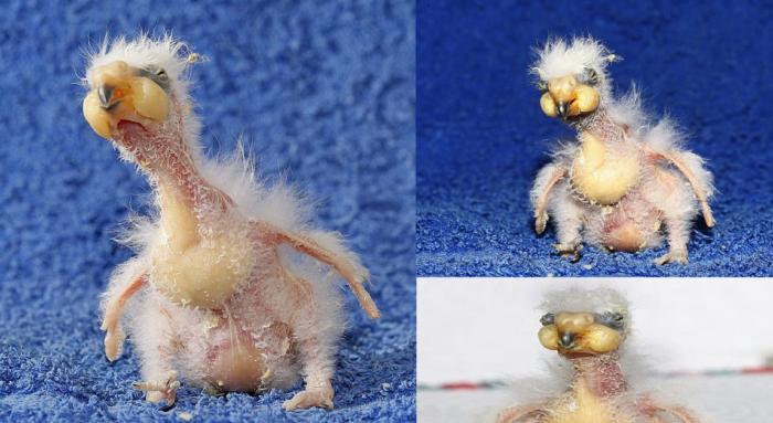 kea baby parrots look terrible, kea monster babies, kea gruesome babies, kea parrot are terribly ugly, ugly baby photo, photo of ugly animal baby, kea ugly animal baby photo, Kea Abominable little birdy