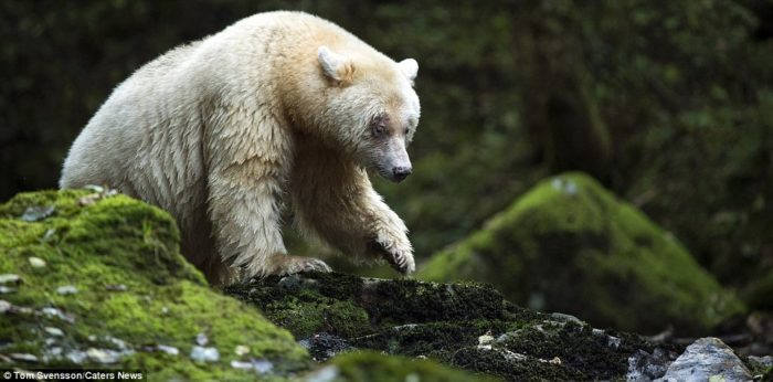 Rare Kermode White Bears ('Spirit Bear') Spotted in BC (Photo)