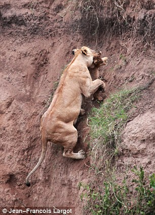 lioness saves cub trapped on a cliff... Amazing, lioness saves cub cliff amazing, motherly love by animals, lion save cubs, amazing moment , amating things, lioness saves cub. Photo J.-F. Largot