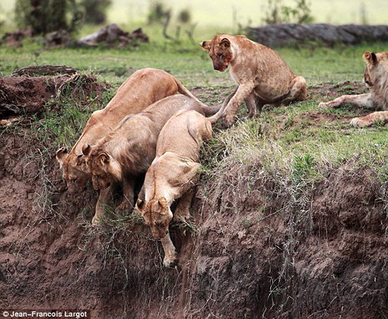motherly love by animals, lion save cubs, amazing moment , amating things, lioness saves cub. Photo J.-F. Largot