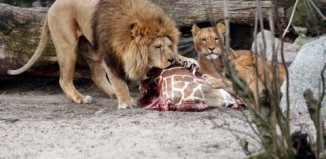 four healthy lions killed by Copenhagen zoo, Copenhagen zoo kills four lions after giraffe uproar, four lion killed copenhagen zoo march 2014, Ironic, no? Some of the lions eating Marius the giraffe have been killed by the Copenhagen Zoo, Some of the lions on this picture eating Marius the giraffe have been killed by the Copenhagen Zoo