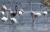 melanistic black flamingo, melanistic Greater Flamingo, melanistic Greater Flamingo photo, black flamingo, menalism by flamingo, black flamingo photo, black flamingo picture, photo of black flamingo, strange birds: black flamingo, strange birds in Eilat: melanistic flamingo, strange bird melanism: melanistic Greater Flamingo, This melanistic Greater Flamingo was spotted in Eilat, Israel on August 8 2013 by Yoav Perlman.