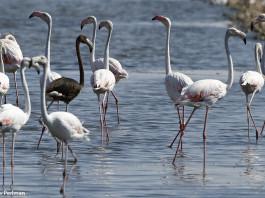 melanistic black flamingo, melanistic Greater Flamingo, melanistic Greater Flamingo photo, black flamingo, menalism by flamingo, black flamingo photo, black flamingo picture, photo of black flamingo, strange birds: black flamingo, strange birds in Eilat: melanistic flamingo, strange bird melanism: melanistic Greater Flamingo, This melanistic Greater Flamingo was spotted in Eilat, Israel on August 8 2013 by Yoav Perlman.