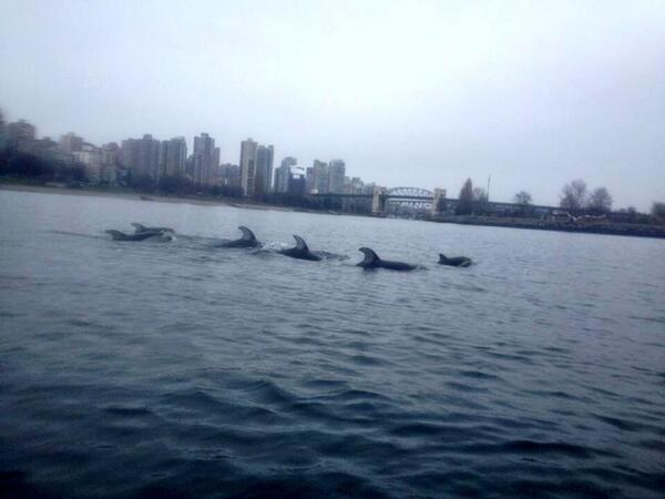 These are few of the many dolphins that were spotted around Vancouver City between March 14 and 16 2014, Pods of Dolphins in Vancouver city, dolphins in Howe Sound video chased by orcas march 2014, Dolphins in False Creek vancouver march 17 2014, dolphins in English Bay vancouver march 2014, dolphins in Blind Channel Vancouver march 2014, orcas hunt dolphin pod in vancouver video, dolphins and orcas in False Creek video, dolphins and orcas in English Bay video, dolphins and orcas in Blind Channel video, dolphins and orcas in Vancouver video, Sounds From a Pod of Dolphins Being Chased by Orcas in Vancouver - March 17 2014, Orcas and Dolphins spotted in Vancouver City - March 17 2014, Dolphins dazzle in urban waterway, dolphins in Vancouver video, video of dolphins in Vancouver city, orcas attack dolphins in Vancouver city, pods of dolphins in Vancouver City, dolphin spotted in Vancouver city, dolphin vancouver video, video of dolphins in vancouver city, dolphins and orcas spotted in Vancouver city (video), video of dolphins and Orcas in Vancouver city, Videos of dolphins visiting False Creek, English Bay and Blind Channel in Vancouver between March 15 and March 17 2014 — where orcas hunted them, dolphin, orca, Vancouver, Canada, March 2014, video