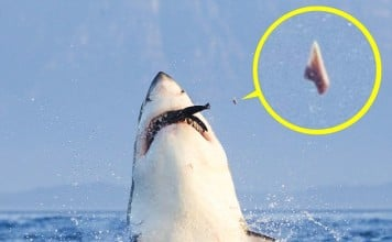 white shark, great white shark airborne attack photo, great white shark airborne attack video, video of great white shark airborne attack, white shark photo, photo of white shark, photo of white shark losing tooth during attack, amazing nature photo: white shark, white shark photo seal, white shark attack photo, photo of white shark attack, white shark attack seal photo, White shark looses tooth during attack on seal, Rare image shows great white shark losing tooth during airborne attack on seal