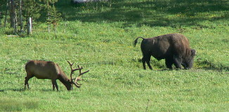 Are animals fleeing Yellowstone because of coming catastrophe?, Massive herd of elk in Montana flying Yellowstone in March 2014, new sign of earthquake: huge herd of elk flying yellowstone in March 2014, Elk and bison flying from Yellowstone prior earthquake, animal flying from Yellowstone, bison and elk flying from yellowstone march 2014, Elk and bison grazing (american buffalo) in Yellowstone Wyoming by Tim Pearse, Are animals fleeing Yellowstone because of coming catastrophe? They are probably only looking for food!