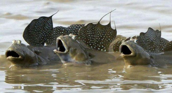 [Image: Mudskippers.jpg]