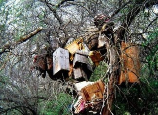 tree tomb, tree burial, strange burial traditions: tree tombs, strange tree burial tradition, strange burial tradition, tree burial, tree tomb, tree burial tom in Tibet and sulawesi, tree burial in Tibet, Tibetan tree burial tomb infant buried in trees in Tibet, tree burial in Tibet, tombs in trees, infant tombs in trees tibet, the tomb trees of tibet, dead infant buried in trees in Tibet, tree tomb Tibet, Tibetan tree burial. Tree burial is a Tibetan tradition most commonly practiced with infants, though children as old as thirteen have been entombed this way. The body is cleaned with salt water before being placed in the vessel in a fetal position. The family then hangs the deceased from a tree. Some trees have only one or two vessels, where other have upwards of fifty. Photo: Deformutilation