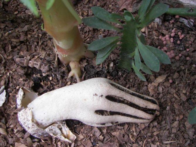 "Zombie mushroom hand, Zombie mushroom hand aka Clathrus archeri, or ""Devil's Fingers"" was found in Indonesia, devil's fingers mushroom, strange zombie mushroom, strange mushroom, this mushroom looks like a zombie hand, zombie mushroom, weird nature: zombie mushroom hand or devil's fingers, strange mushroom: zombie hand or devil's fingers"