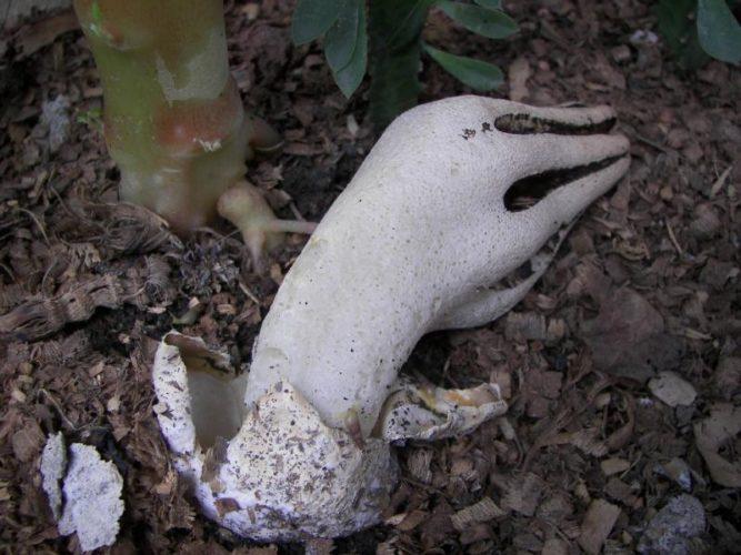 "Zombie mushroom, devil's fingers, demoniac vegetables: zombie finger mushroom, Zombie mushroom hand, Zombie mushroom hand aka Clathrus archeri, or ""Devil's Fingers"" was found in Indonesia, devil's fingers mushroom, strange zombie mushroom, strange mushroom, this mushroom looks like a zombie hand, zombie mushroom, weird nature: zombie mushroom hand or devil's fingers, strange mushroom: zombie hand or devil's fingers, This mushroom is also called Devil's fingers. Photo: Orimath"