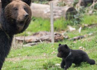 "bear cub killed in Bern zoo, bear cub killed by father and zoo in Bern, Bern zoo kills bear cub, bear cup killed by zoo in Bern, ""Bear number three,"" the small bear cub at right, was killed by its father on April 2, 2014 (Tierpark Daehlhoelzli/Rando)"