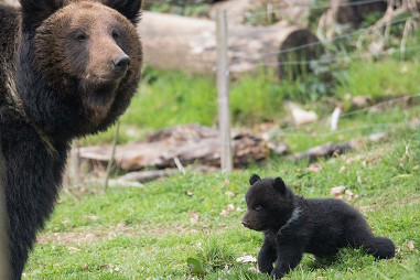 "bear cub killed in Bern zoo, bear cub killed by father and zoo in Bern, Bern zoo kills bear cub, bear cup killed by zoo in Bern, ""Bear number three,"" the small bear cub at right, was killed by its father on April 2, 2014 (Tierpark Daehlhoelzli/Rando)"