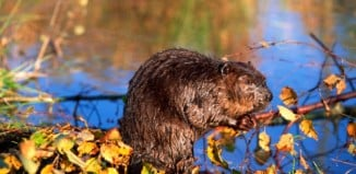 This small beaver should be partly responsible for loud booms and rumblings? WTF!?, beaver photo, beaver image, beaver dam explosion, beaver responsible for loud booms and rumblings, loud booms and rumblings, loud booms, mystery booms, mystery loud booms, beaver responsible for mystery booms,