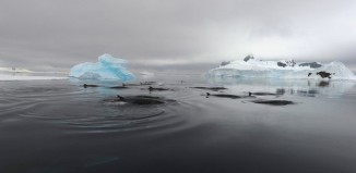 bio-duck unexplained sound, bio-duck mysterious sound, The bio-duck mystery sound which baffled scientists for decades is produced by minke whales in the Southern ocean, bio-duck mystery sound