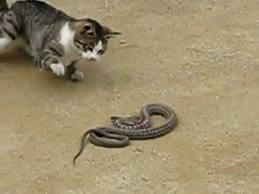 cat plays with snake, This cat is fascinated by the snake cat fight with snake, cat vs snake video, video of cat playing with snake, cat plays with snake video, video of a cat playing with a snake, funny cat video, funny cat and snake video, lol video, lol and funny video: cat plays with snake