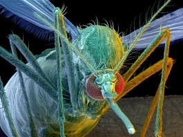 Genetically modified mosquitoes to fight dengue fever in Brazil. Photo: Telegraph,