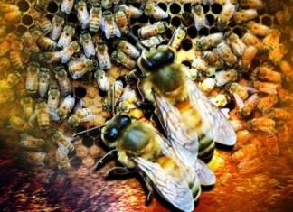 killer bees,killer bees kill Eagle Pass man on April 9 2014 (Texas). Photo: Wiki, Eagle Pass killer bees 2014, killer bees kill man in Eagle Pass texas, Eagle Pass texas killer bees, killer bees attack in texas april 2014, killer bees kill in Texas, texas man killed by afrikanized bees, killer bee swarm kills man in Texas april 2014, texas killer bees april 2014, killer bee kill man in killer bees kill texas man april 2014