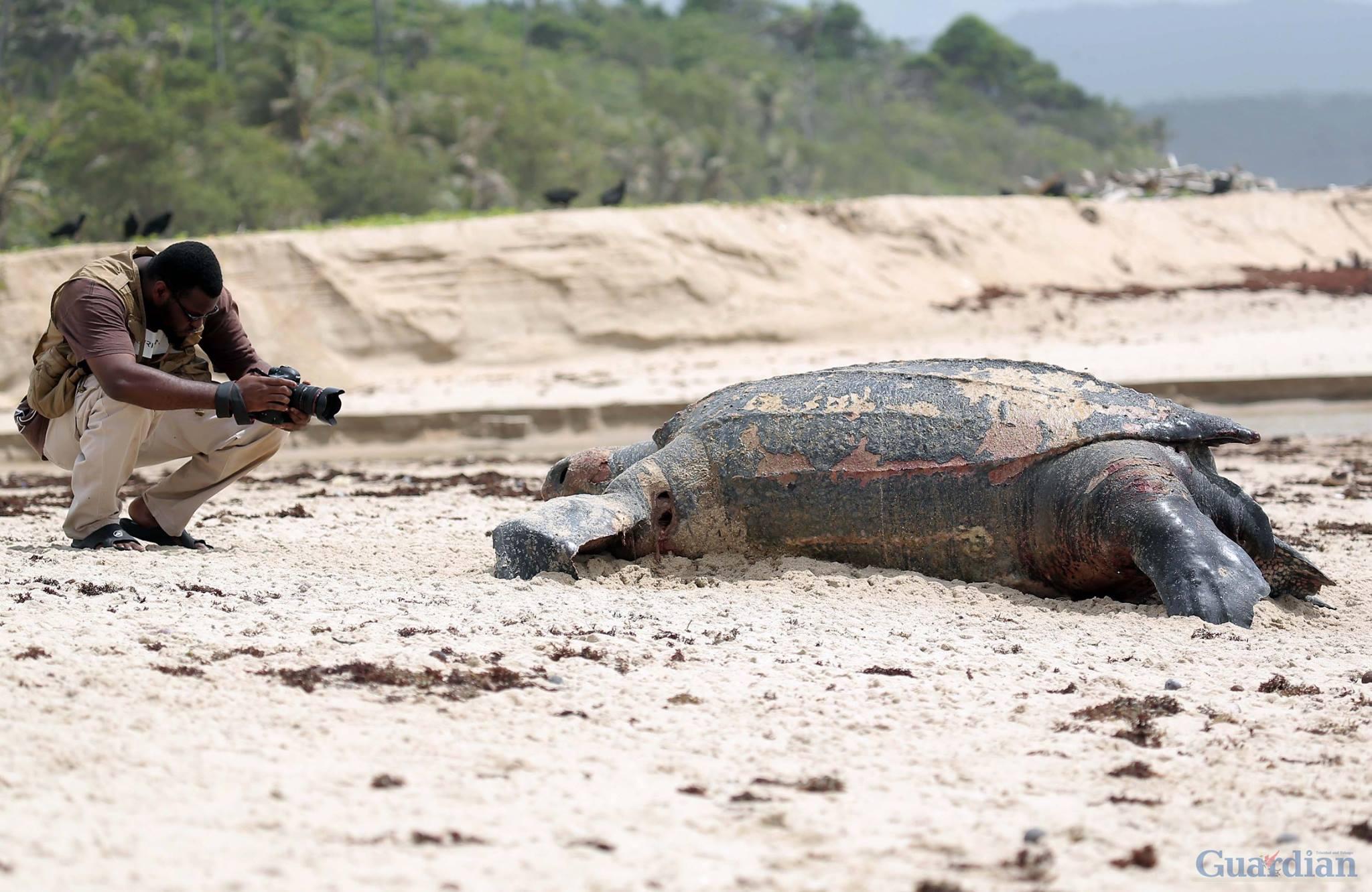 3 leatherback turtles dead Matura, leatherback turtle die-off, leatherback turtle dead matura trinidad, leatherback turtle dead trinidad