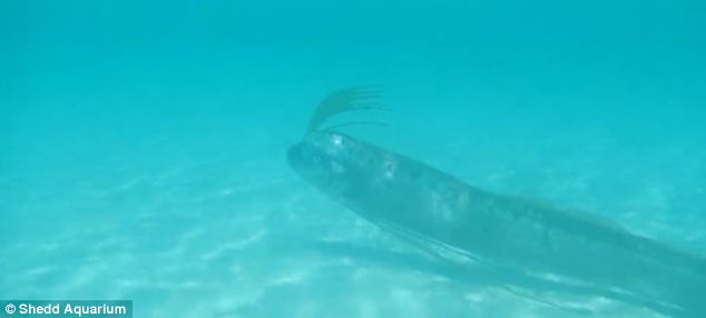 Gallery For > Oarfish Swimming Video