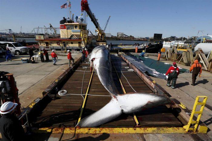 dead whale new york, new york harbor dead whale, us dead whale april 2014, dead whale new york usa, new york harbor dead whale, whale found dead in New York harbor, Dissection of dead whale in New York harbor - April 16 2014. Photo: AP