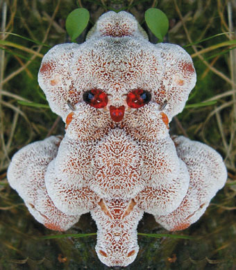 strangest plant and mushroom pictures: Abortiporus biennis, This weird mushroom has several form... Like this demoniac skull. Photo: Alfred Adomat, This weird mushroom can have a monster face. Photo: Alfred Adomat, strange mushroom, strange plant, strange things, weird mushroom, good mushshrroom, strange mushroom photo, phot of mushroom, mushroom image, strange mushroom image, weirdest plant in the world, strangest mushroom in the world, plant oddity, strange mushroom: abortiporus biennis, This weird mushroom has several form... Like this demoniac skull. Photo: Alfred Adomat, This weird mushroom can have a monster face. Photo: Alfred Adomat