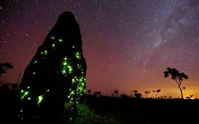Carnivorous glow worms use bioluminescence to attract termites, Carnivorous glow worms use bioluminescence to attract termites. Photo: Youtube, Carnivorous glow worms use bioluminescence to attract termites video, video of Carnivorous glow worms use bioluminescence to attract termites. Photo: Youtube, Glowing termite mound, glow worm in termite mounds in Brazil, amazing phenomenon: glow worm illuminates termite mounds in Brazil, Glowing termite mound in Brazil video, video of Glowing termite mound in Brazil, Bioluminescence is light created by living organisms and and it can create the most fantastic displays. It includes 'phosphorescence' created by marine creatures and seen on the surface of the sea at night, the light of fireflies and the faint but eerie glow of some fungi. The light is produced chemically for many different reasons: to attract attention, to frighten enemies, to disguise what you really are, or - in the depths of the sea - to provide your own 'headlights' to search out prey.
