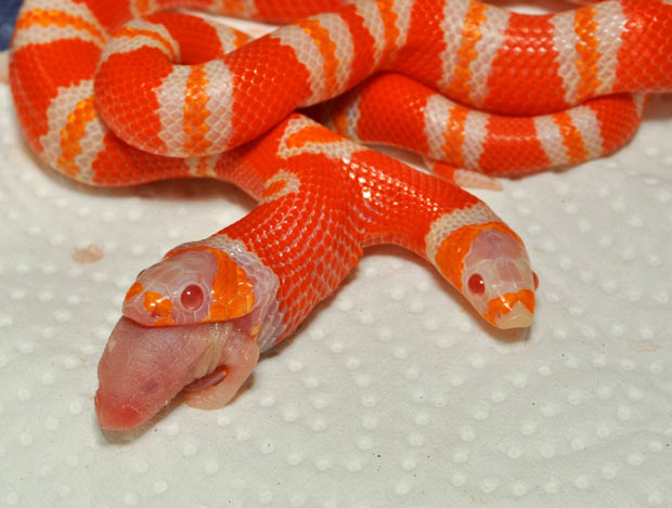 Two-headed Albino Honduran Milk Snake Medusa having a meal, Medusa two-headed Albino Honduran Milk Snake having a meal. Photo: Youtube, two headed snake medusa, two-headed albino snake, Medusa two-headed Albino Honduran Milk Snake having a meal, video of Medusa two-headed Albino Honduran Milk Snake having a meal, Medusa two-headed Albino Honduran Milk Snake having a meal video, Medusa two-headed Albino Honduran Milk Snake having a mealphoto, photo two headed snake, two headed albino snake in Florida video, two headed albino snake in Florida, Two Headed Snake Eating Mouse - Albino Milk Snake, Two Headed Snake Eating Mouse - Albino Milk Snake video, video of Two Headed Snake Eating Mouse - Albino Milk Snake
