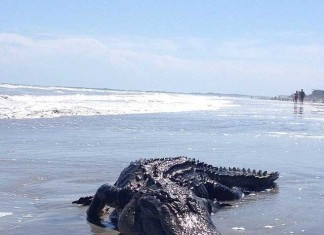 alligator folly beach, alligator on folly beach scares beachgoers, beachgoers scared by alligator on Folly Beach SC - May 2014, alligator folly beach south carolina may 2014, alligator folly beach may 2014 photo, photo of alligator on folly beach may 2014, Monster alligator on FOLLY BEACH in South Carolina on May 14 2015