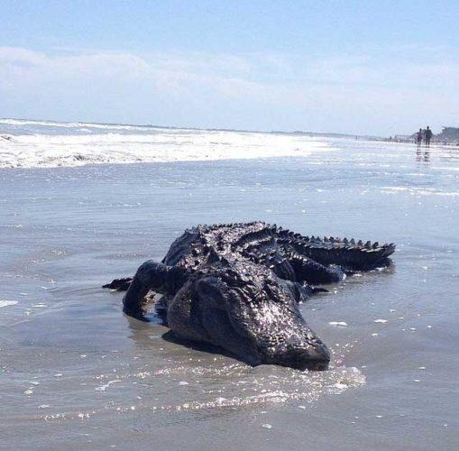 alligator folly beach, alligator on folly beach scares beachgoers, beachgoers scared by alligator on Folly Beach SC - May 2014, alligator folly beach south carolina may 2014, alligator folly beach may 2014 photo, photo of alligator on folly beach may 2014, Monster alligator on FOLLY BEACH in South Carolina on May 14 2015
