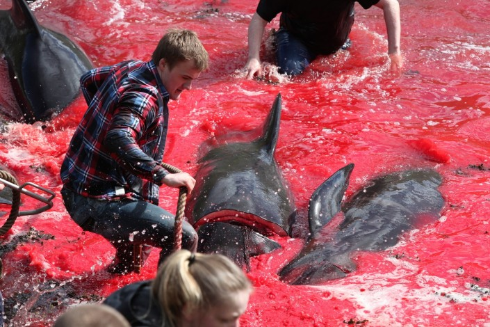 Pilot whale mass killing Faroe Islands photos, bloody and brutal pilot whale mass killing in Faroe Islands photos, whale killing and slaughter faroe islands photo, whale killing and slaughter faroe islands images, whale killing and slaughter faroe islands pictures