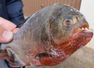 piranha france, piranha caught in Les Vosges, what is doing a piranha in les Vosges France, fisherman catches piranha in Les Vosges France may 2014, unexpected catch in France: Piranha caught in pond the the Vosges, piranha caught in northern france may 2014, piranha caught in Frances, large piranha caught in France by angler, Unusual catch in France: An angler caught a piranha in northern Vosges department