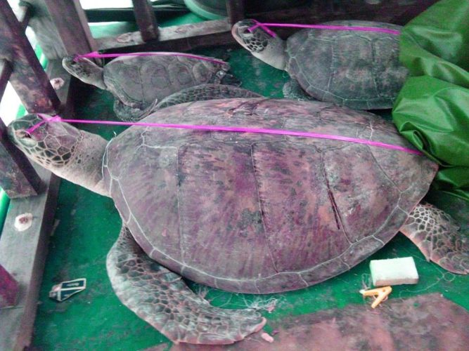 Animal cruelty, Animal cruelty: Dead and dying marine turtles, strange behavior, strange turtle behavior, human animal cruelty, example of human animal cruelty, most cruel animal behavior of humans against nimals, animal cruelty: Dead and dying marine turtles found on board a Chinese boat intercepted by Philippine maritime police, Dead and dying marine turtles found on board a Chinese boat intercepted by Philippine maritime police, Animal cruelty: turtle torture, animal cruelty: turtle blinging, why are turtles blinded alive? Animal cruelty: Dead and dying marine turtles